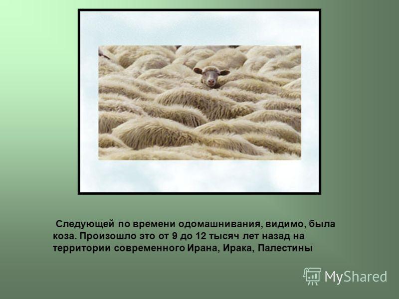 Следующей по времени одомашнивания, видимо, была коза. Произошло это от 9 до 12 тысяч лет назад на территории современного Ирана, Ирака, Палестины