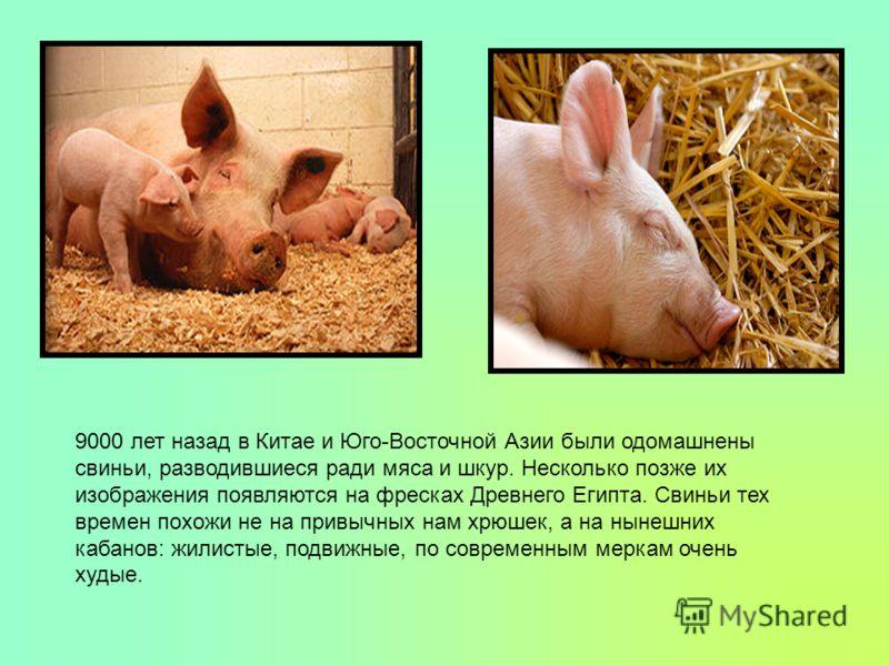 9000 лет назад в Китае и Юго-Восточной Азии были одомашнены свиньи, разводившиеся ради мяса и шкур. Несколько позже их изображения появляются на фресках Древнего Египта. Свиньи тех времен похожи не на привычных нам хрюшек, а на нынешних кабанов: жили