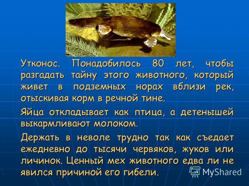 Утконос. Понадобилось 80 лет, чтобы разгадать тайну этого животного, который живет в подземных норах вблизи рек, отыскивая корм в речной тине. Яйца откладывает как птица, а детенышей выкармливают молоком. Держать в неволе трудно так как съедает ежедн