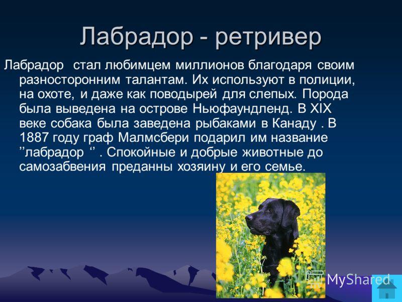 Лабрадор - ретривер Лабрадор стал любимцем миллионов благодаря своим разносторонним талантам. Их используют в полиции, на охоте, и даже как поводырей для слепых. Порода была выведена на острове Ньюфаундленд. В XIX веке собака была заведена рыбаками в