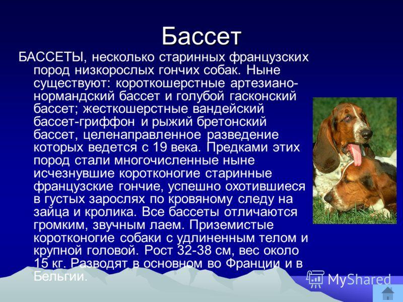 Бассет БАССЕТЫ, несколько старинных французских пород низкорослых гончих собак. Ныне существуют: короткошерстные артезиано- нормандский бассет и голубой гасконский бассет; жесткошерстные вандейский бассет-гриффон и рыжий бретонский бассет, целенаправ