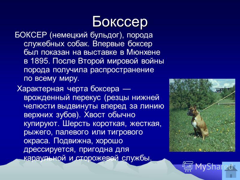 Бокссер БОКСЕР (немецкий бульдог), порода служебных собак. Впервые боксер был показан на выставке в Мюнхене в 1895. После Второй мировой войны порода получила распространение по всему миру. Характерная черта боксера врожденный перекус (резцы нижней ч