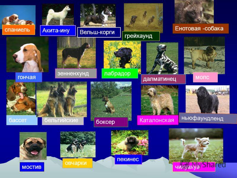 спаниель Енотовая -собака зенненхундлабрадор мопс ньюфаундленд бассетбельгийские боксер далматинец Каталонская пекинес чихуахуа овчарки мостив Акита-ину Вельш-корги грейхаунд гончая
