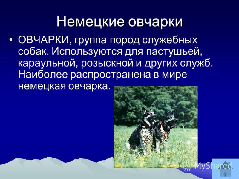 Немецкие овчарки ОВЧАРКИ, группа пород служебных собак. Используются для пастушьей, караульной, розыскной и других служб. Наиболее распространена в мире немецкая овчарка.