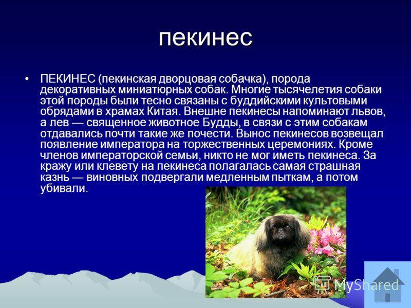 пекинес ПЕКИНЕС (пекинская дворцовая собачка), порода декоративных миниатюрных собак. Многие тысячелетия собаки этой породы были тесно связаны с буддийскими культовыми обрядами в храмах Китая. Внешне пекинесы напоминают львов, а лев священное животно