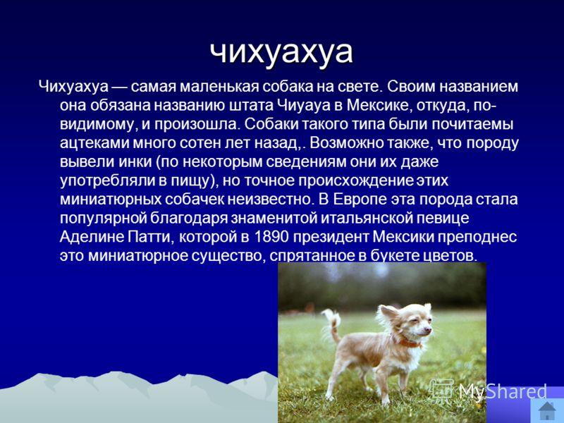 чихуахуа Чихуахуа самая маленькая собака на свете. Своим названием она обязана названию штата Чиуауа в Мексике, откуда, по- видимому, и произошла. Собаки такого типа были почитаемы ацтеками много сотен лет назад,. Возможно также, что породу вывели ин