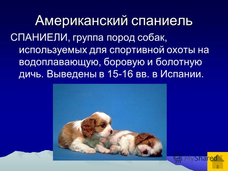 Американский спаниель СПАНИЕЛИ, группа пород собак, используемых для спортивной охоты на водоплавающую, боровую и болотную дичь. Выведены в 15-16 вв. в Испании.