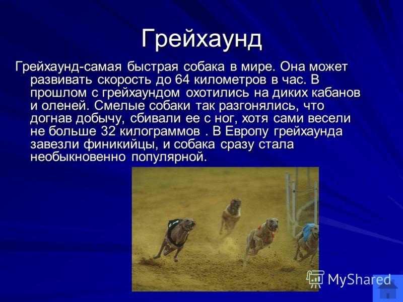 Грейхаунд Грейхаунд-самая быстрая собака в мире. Она может развивать скорость до 64 километров в час. В прошлом с грейхаундом охотились на диких кабанов и оленей. Смелые собаки так разгонялись, что догнав добычу, сбивали ее с ног, хотя сами весели не