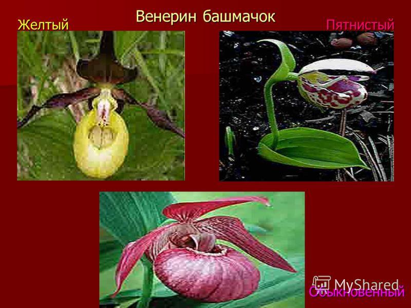 Венерин башмачок ЖелтыйПятнистый Обыкновенный