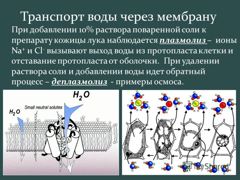 Транспорт воды через мембрану При добавлении 10% раствора поваренной соли к препарату кожицы лука наблюдается плазмолиз – ионы Na + и Сl - вызывают выход воды из протопласта клетки и отставание протопласта от оболочки. При удалении раствора соли и до