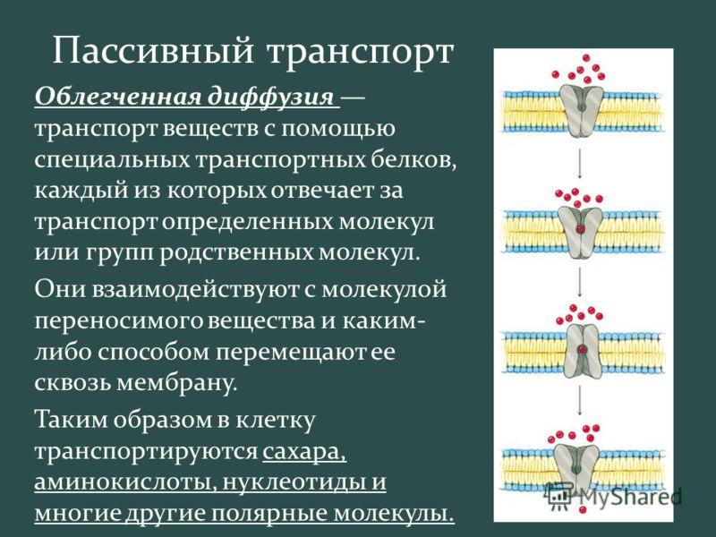 Пассивный транспорт Облегченная диффузия транспорт веществ с помощью специальных транспортных белков, каждый из которых отвечает за транспорт определенных молекул или групп родственных молекул. Они взаимодействуют с молекулой переносимого вещества и