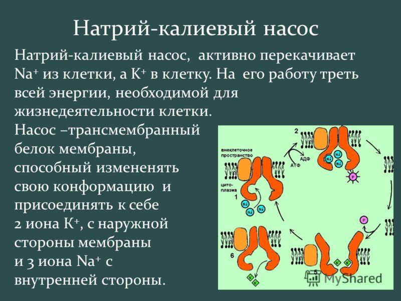 Натрий-калиевый насос Натрий-калиевый насос, активно перекачивает Na + из клетки, а K + в клетку. На его работу треть всей энергии, необходимой для жизнедеятельности клетки. Насос –трансмембранный белок мембраны, способный измененять свою конформацию
