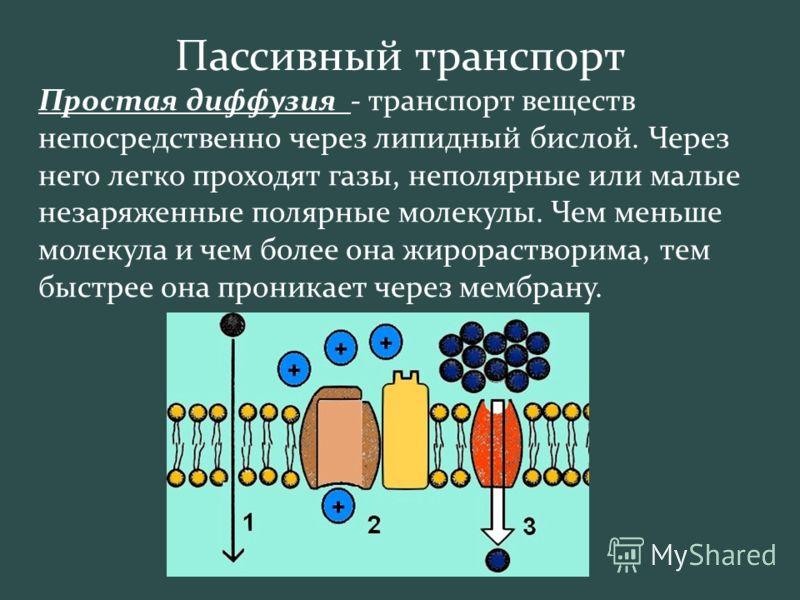 Пассивный транспорт Простая диффузия - транспорт веществ непосредственно через липидный бислой. Через него легко проходят газы, неполярные или малые незаряженные полярные молекулы. Чем меньше молекула и чем более она жирорастворима, тем быстрее она п