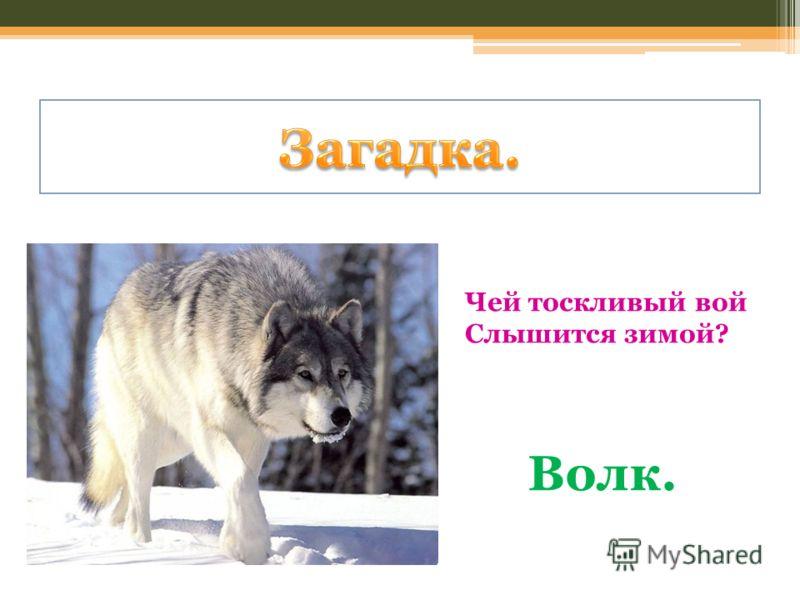 Чей тоскливый вой Слышится зимой? Волк.