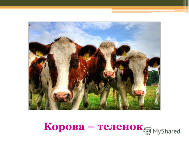 Корова – теленок.