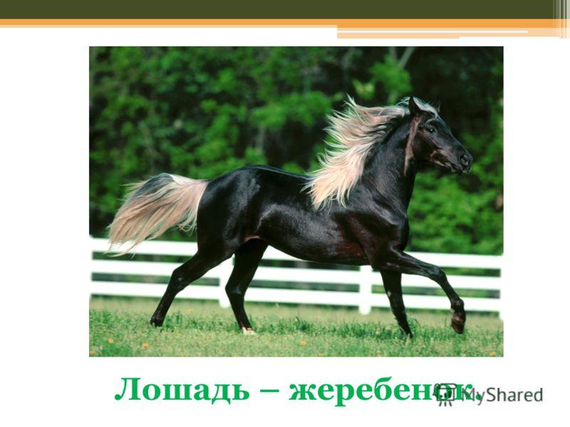 Лошадь – жеребенок.