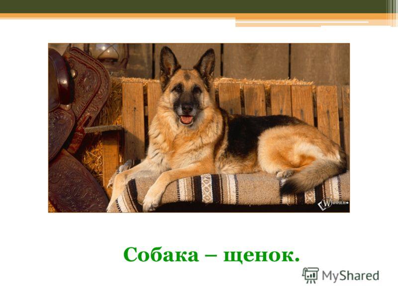 Собака – щенок.