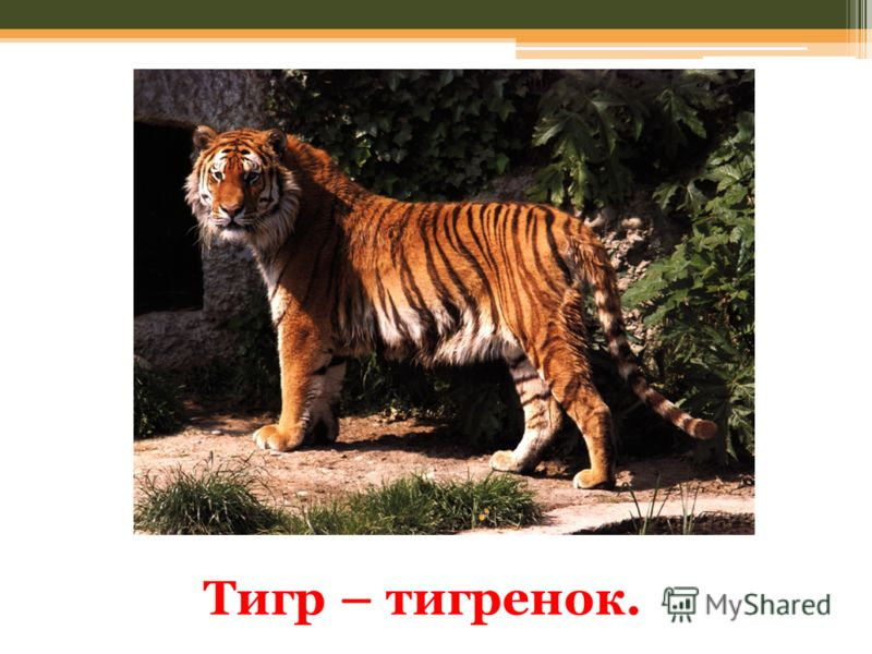 Тигр – тигренок.