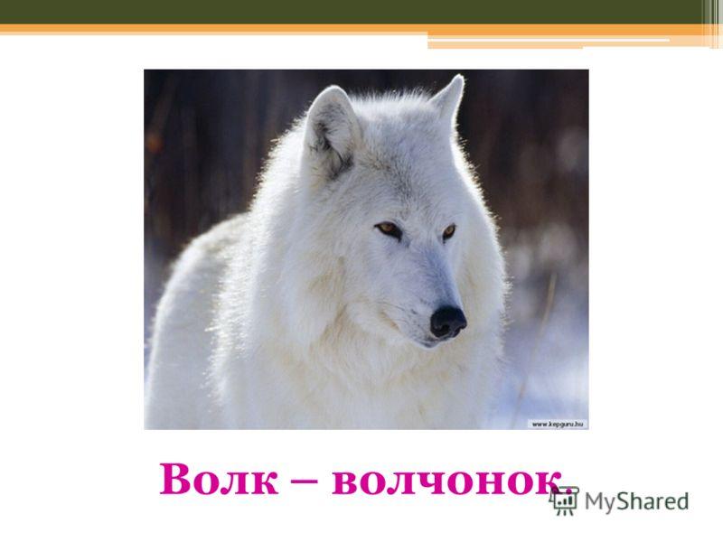 Волк – волчонок.