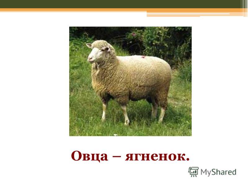 Овца – ягненок.