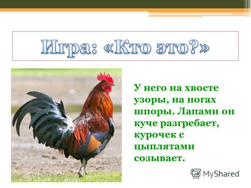 У него на хвосте узоры, на ногах шпоры. Лапами он куче разгребает, курочек с цыплятами созывает.