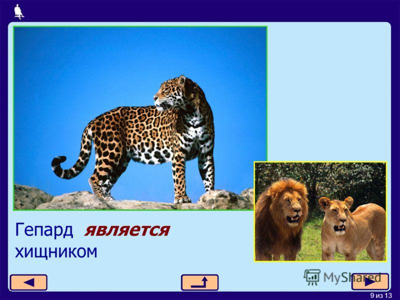 9 из 13 Гепард является хищником