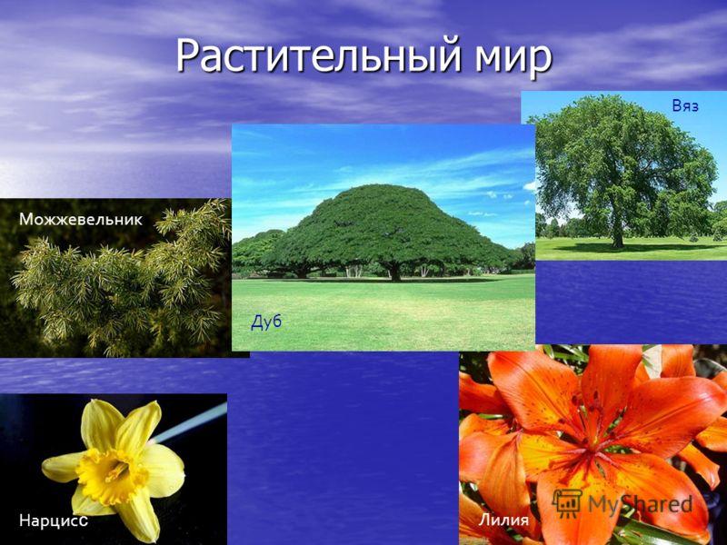 Растительный мир Дуб Вяз Можжевельник Нарцис с Лилия