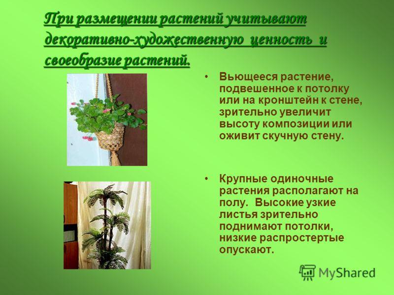 При размещении растений учитывают декоративно-художественную ценность и своеобразие растений. Вьющееся растение, подвешенное к потолку или на кронштейн к стене, зрительно увеличит высоту композиции или оживит скучную стену. Крупные одиночные растения