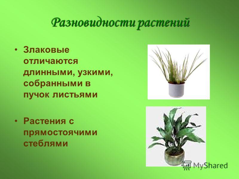 Разновидности растений Злаковые отличаются длинными, узкими, собранными в пучок листьями Растения с прямостоячими стеблями