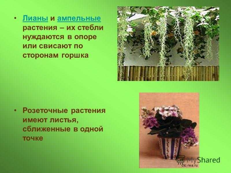 Лианы и ампельные растения – их стебли нуждаются в опоре или свисают по сторонам горшкаЛианыампельные Розеточные растения имеют листья, сближенные в одной точке