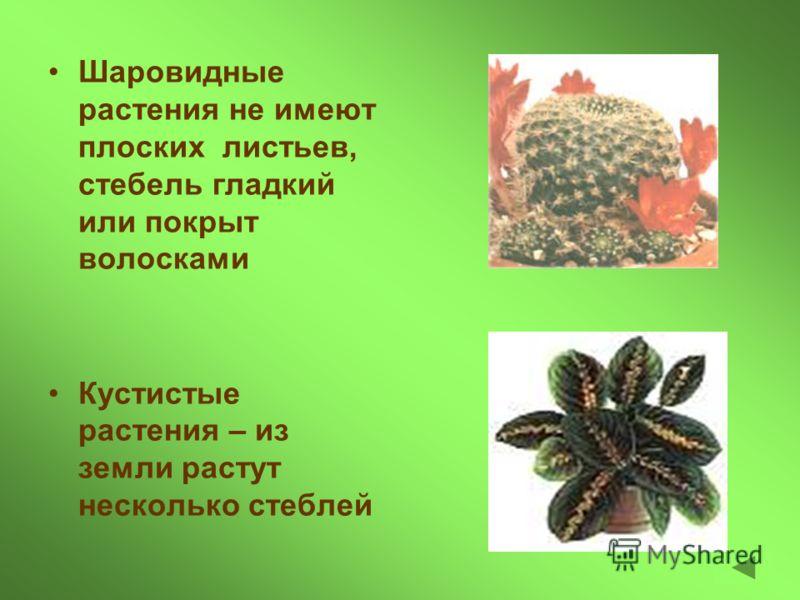 Шаровидные растения не имеют плоских