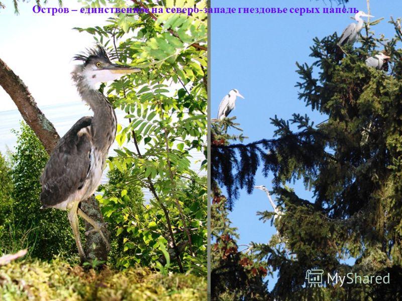 Остров – единственное на северо-западе гнездовье серых цапель
