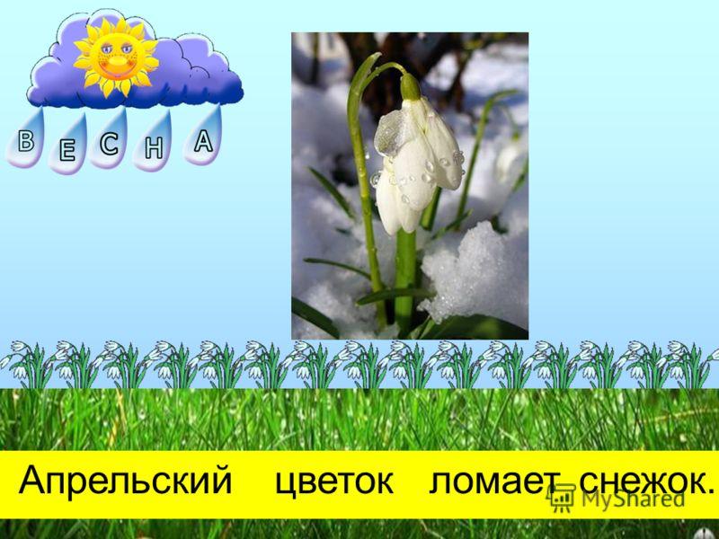 Апрельскийцветокломаетснежок.