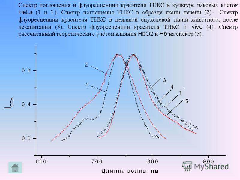 Спектр поглощения и флуоресценции красителя ТИКС в культуре раковых клеток HeLa (1 и 1 ). Спектр поглощения ТИКС в образце ткани печени (2). Спектр флуоресценции красителя ТИКС в неживой опухолевой ткани животного, после декапитации (3). Спектр флуор