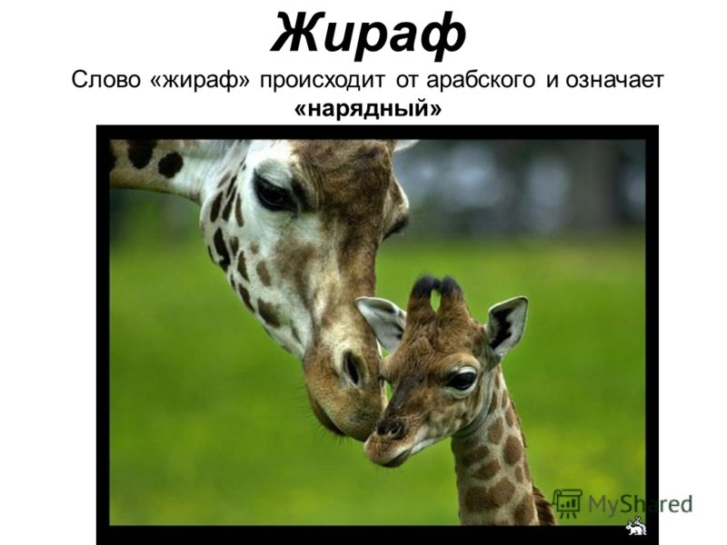 Жираф Слово «жираф» происходит от арабского и означает «нарядный»
