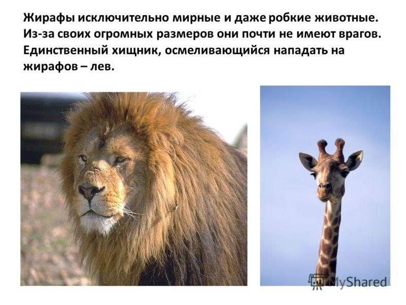 Жирафы исключительно мирные и даже робкие животные. Из-за своих огромных размеров они почти не имеют врагов. Единственный хищник, осмеливающийся нападать на жирафов – лев.