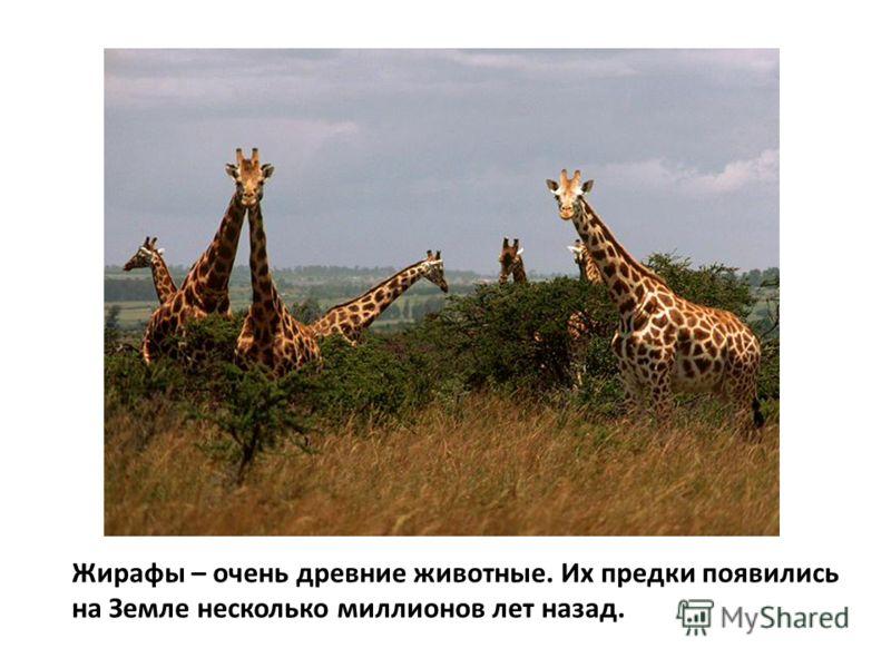 Жирафы – очень древние животные. Их предки появились на Земле несколько миллионов лет назад.