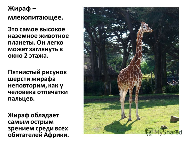 Жираф – млекопитающее. Это самое высокое наземное животное планеты. Он легко может заглянуть в окно 2 этажа. Пятнистый рисунок шерсти жирафа неповторим, как у человека отпечатки пальцев. Жираф обладает самым острым зрением среди всех обитателей Африк