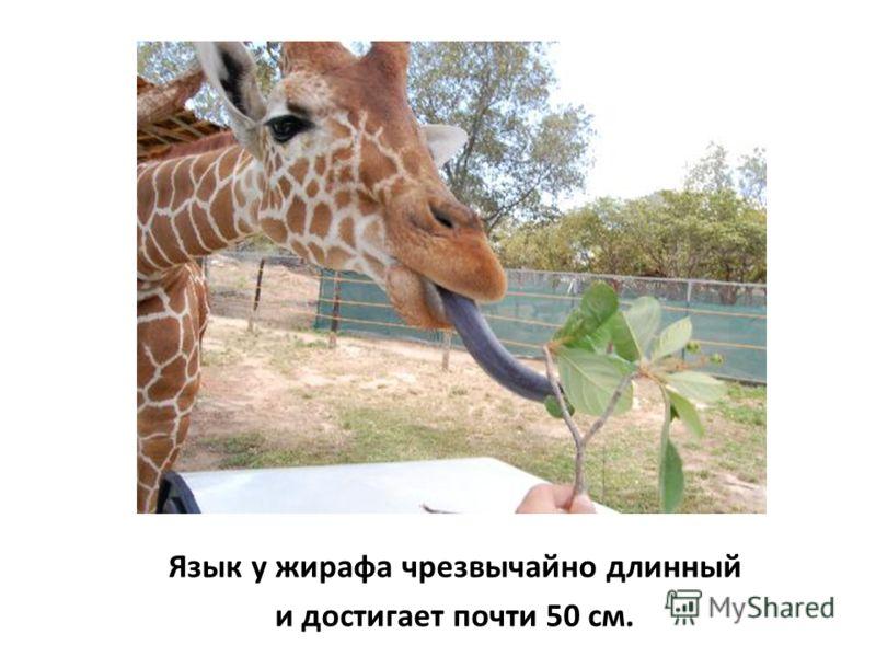 Язык у жирафа чрезвычайно длинный и достигает почти 50 см.