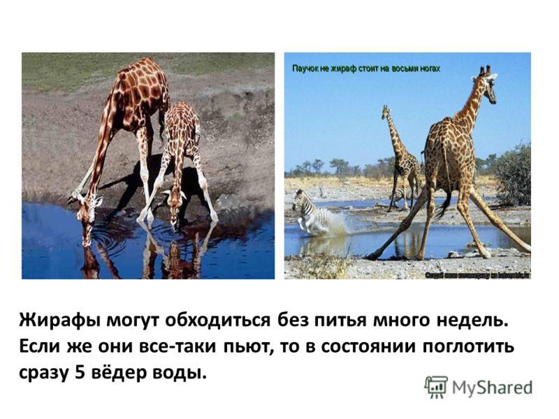 Жирафы могут обходиться без питья много недель. Если же они все-таки пьют, то в состоянии поглотить сразу 5 вёдер воды.