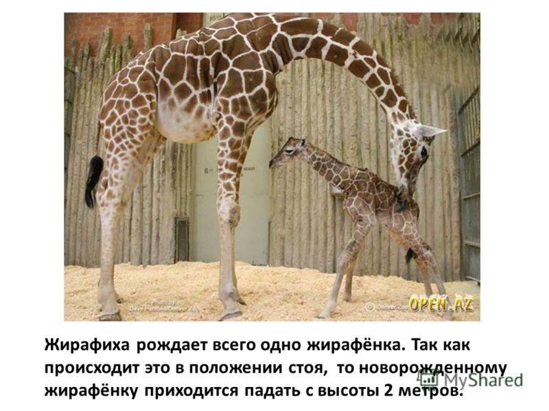 Жирафиха рождает всего одно жирафёнка. Так как происходит это в положении стоя, то новорожденному жирафёнку приходится падать с высоты 2 метров.