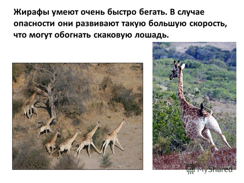 Жирафы умеют очень быстро бегать. В случае опасности они развивают такую большую скорость, что могут обогнать скаковую лошадь.