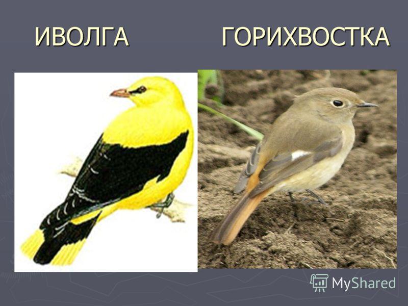 ИВОЛГА ГОРИХВОСТКА ИВОЛГА ГОРИХВОСТКА