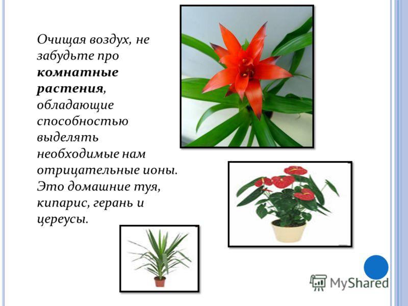 Очищая воздух, не забудьте про комнатные растения, обладающие способностью выделять необходимые нам отрицательные ионы. Это домашние туя, кипарис, герань и цереусы.
