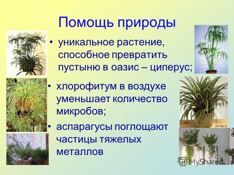 Помощь природы уникальное растение, способное превратить пустыню в оазис – циперус; хлорофитум в воздухе уменьшает количество микробов; аспарагусы поглощают частицы тяжелых металлов