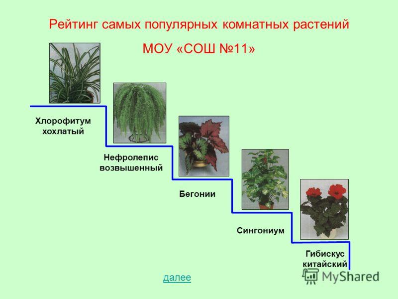 Рейтинг самых популярных комнатных растений МОУ «СОШ 11» Хлорофитум хохлатый Нефролепис возвышенный Бегонии Сингониум Гибискус китайский далее