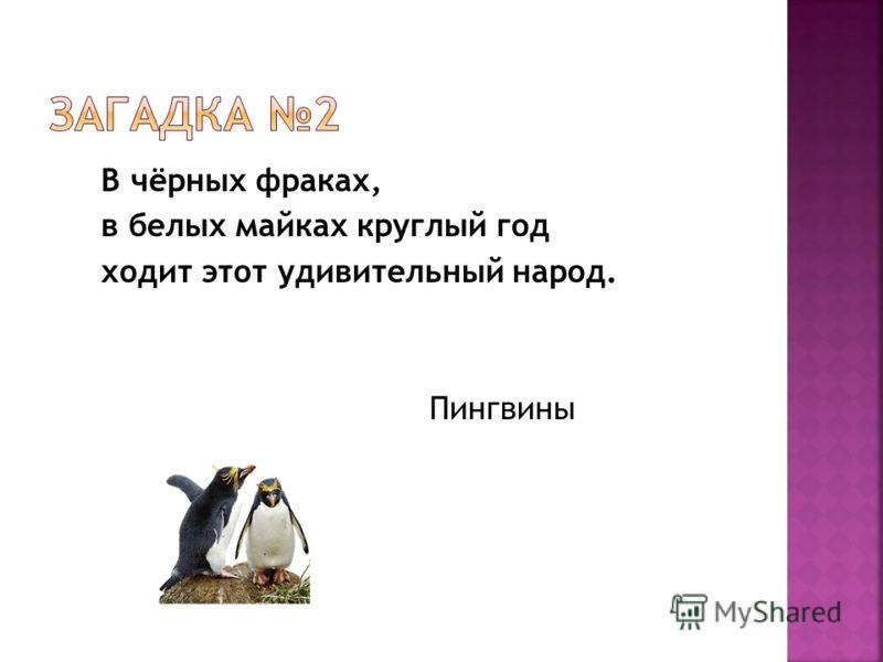 В чёрных фраках, в белых майках круглый год ходит этот удивительный народ. Пингвины