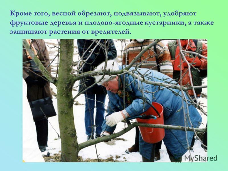 Кроме того, весной обрезают, подвязывают, удобряют фруктовые деревья и плодово-ягодные кустарники, а также защищают растения от вредителей.