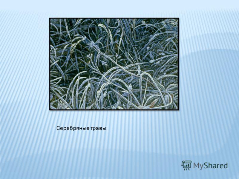 Серебряные травы