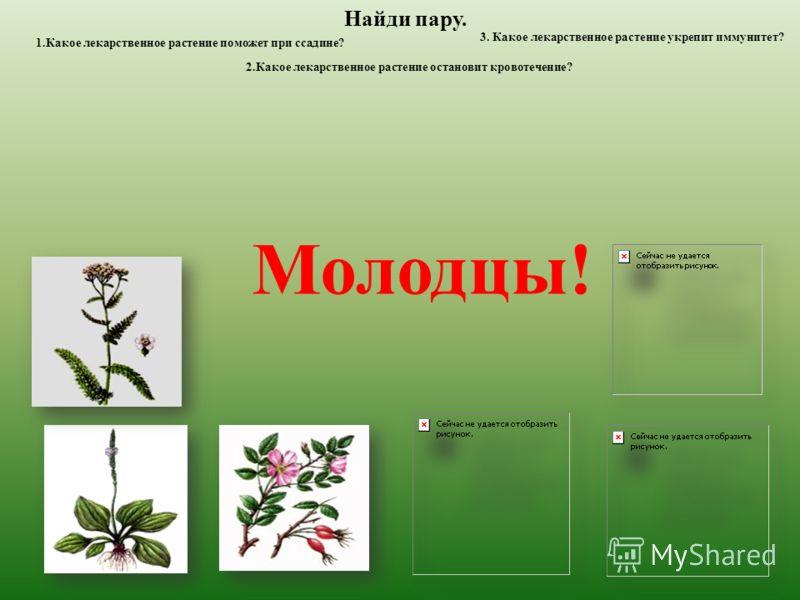 Найди пару. 1.Какое лекарственное растение поможет при ссадине? 2.Какое лекарственное растение остановит кровотечение? 3. Какое лекарственное растение укрепит иммунитет? Молодцы!